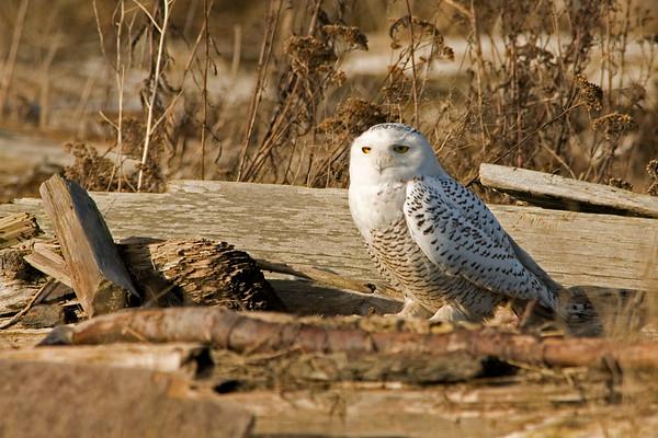 Snowy Owl, Nyctea scandiaca 3936