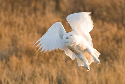 Snowy Owl, Nyctea scandiaca 5186