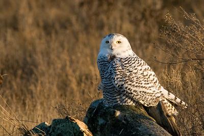 Snowy Owl, Nyctea scandiaca 5105