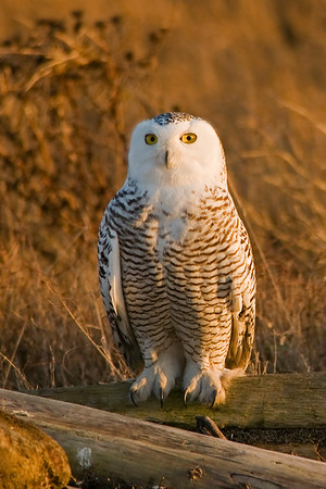 Snowy Owl, Nyctea scandiaca 5378