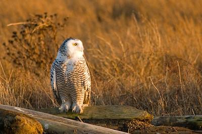 Snowy Owl, Nyctea scandiaca 5358