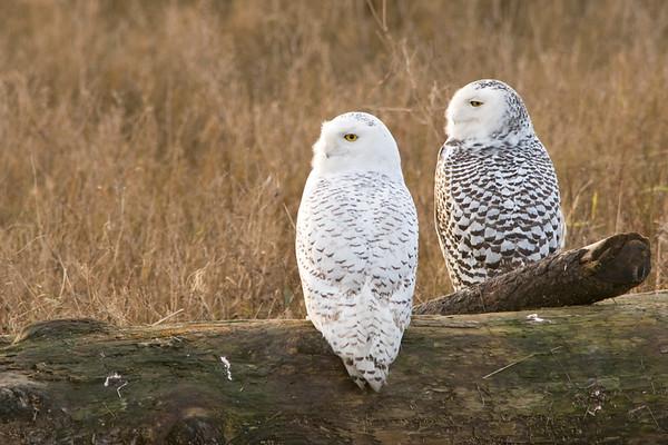 Snowy Owl, Nyctea scandiaca 3183