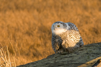 Snowy Owl, Nyctea scandiaca 5284
