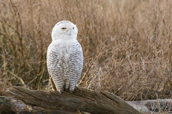 Snowy Owl, Nyctea scandiaca 3206