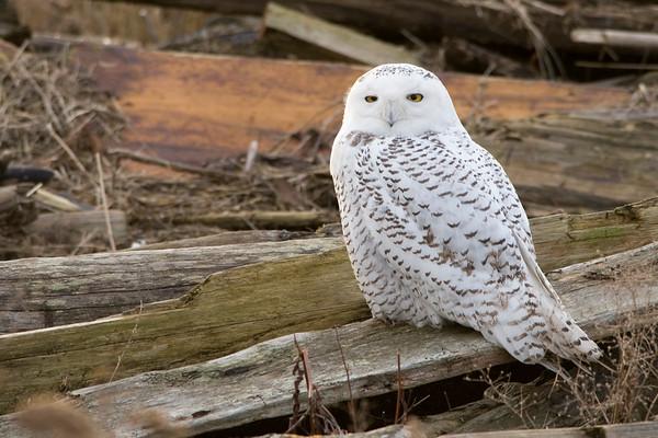 Snowy Owl, Nyctea scandiaca 3197