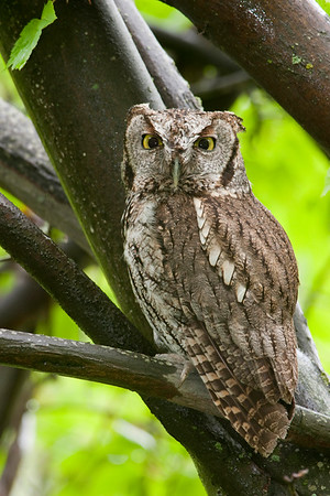 Western Screech Owl 5333