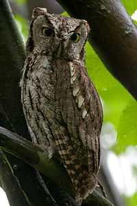 Western Screech Owl 5207