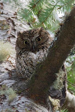 Western Screech Owl 7467