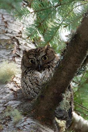 Western Screech Owl 7466