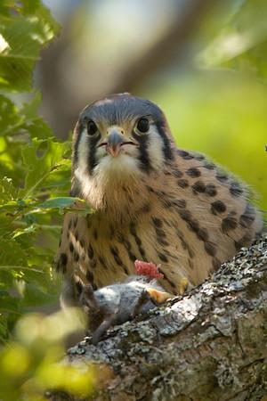 American Kestrel Falco sparverius 5354