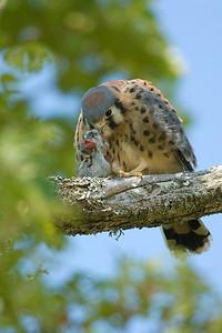 American Kestrel Falco sparverius 5293