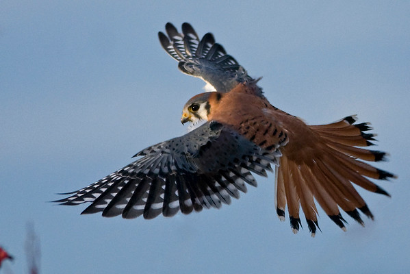 American Kestrel Falco sparverius 3046