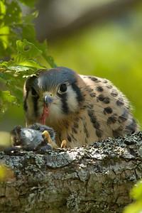 American Kestrel Falco sparverius 5352