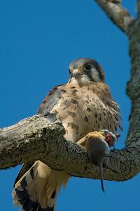 American Kestrel Falco sparverius 5275