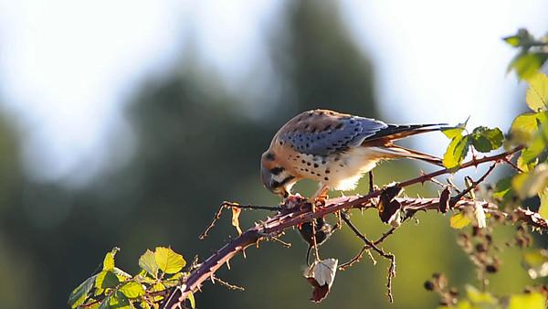 American Kestrel Falco sparverius 2404