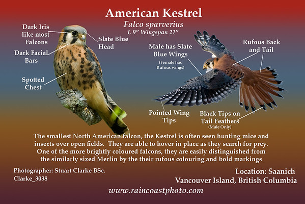 American Kestrel Falco sparverius - The smallest North American falcon, the Kestrel is often seen hunting mice and insects over open fields.  They are able to hover in place as they search for prey. One of the more brightly coloured falcons, they are easily distinguished from the similarly sized Merlin by the their rufous colouring and bold markings