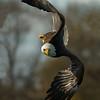 Bald Eagle 7220