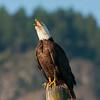 Bald Eagle 2955