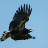 Bald Eagle 3638