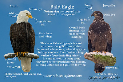 Bald Eagle - This large fish-eating eagle is most often seen along BC rivers during the annual salmon runs when they gather in large numbers. They feed on a large variety of prey, salmon,  fish and carrion.  In many areas they have become proficient bird hunters, catching waterfowl and gulls on the wing.