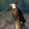 Bald Eagle 2971