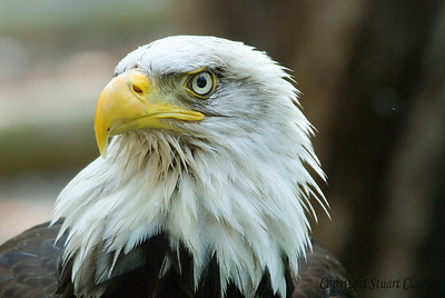 Bald Eagle 3449