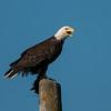 Bald Eagle 3244