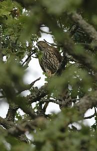 Cooper's Hawk 8598