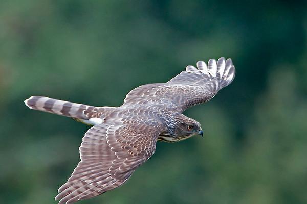 Cooper's Hawk 3541