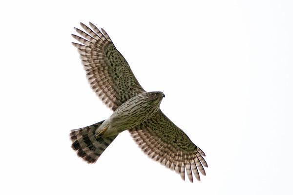 Cooper's Hawk 1347