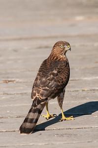 Cooper's Hawk 3792