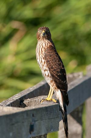 Cooper's Hawk 3970