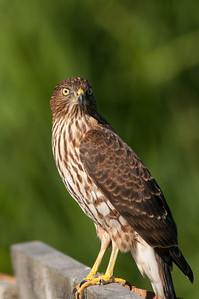 Cooper's Hawk 4085