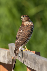 Cooper's Hawk 4058
