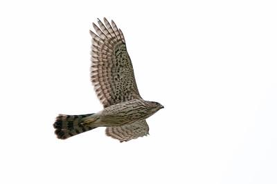 Cooper's Hawk 1350