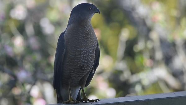 Cooper's Hawk 2701