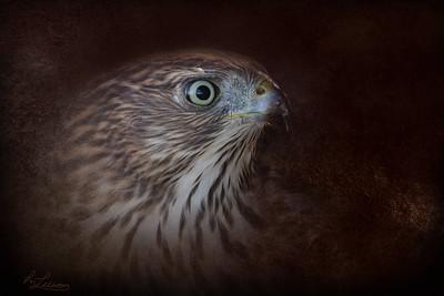 Cooper's Hawk Portrait
