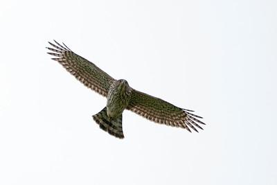 Cooper's Hawk 1345