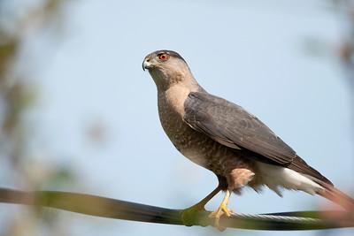 Cooper's Hawk 2711