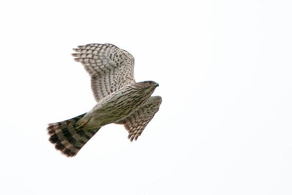 Cooper's Hawk 1348