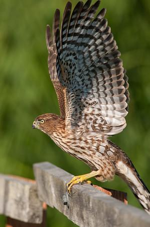 Cooper's Hawk 4087