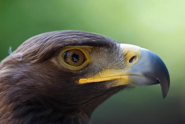 Golden Eagle 3502