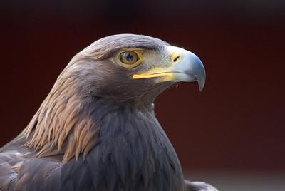 Golden Eagle 3549