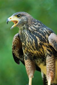 Harris's Hawk 3705