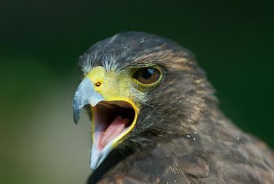 Harris's Hawk 3587
