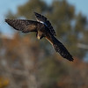 Northern Harrier diving for a mouse