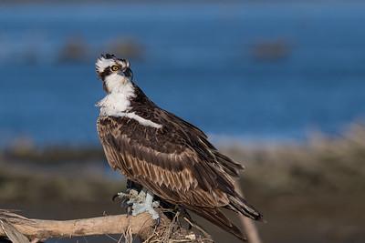Osprey, female