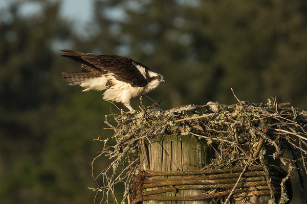 Cowichan Bay nest #1