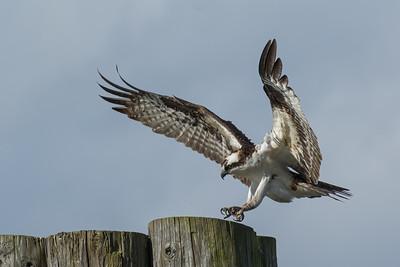 Osprey male