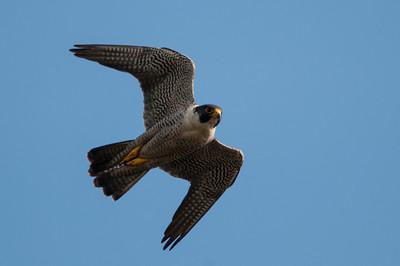 Peregrine Falcon  - Falco peregrinus 7620